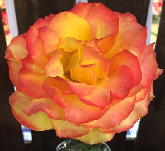 WinnerName_ Maggie PhilippsonGardenCentre _Aylett Nurseries Ltd.OriginalFileName_Aylett Nurseries Ltd. Prettiest Rose - Tequila Sunrise.jpg